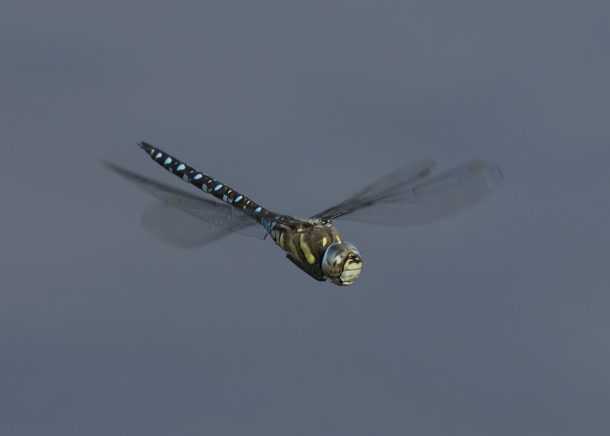 Free stock photo of dragonfly, flying, wings