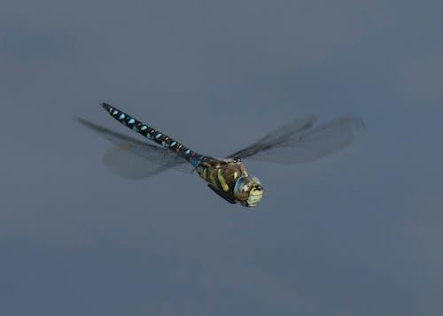Бесплатное стоковое фото с крылья, летающий, стрекоза