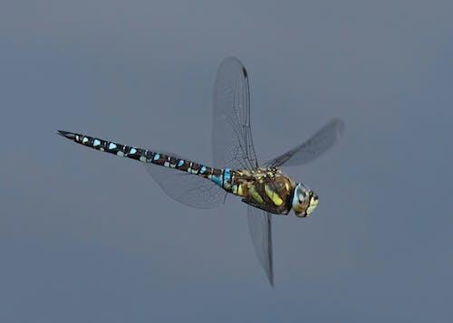 Бесплатное стоковое фото с крыло стрекозы, полет, стрекоза
