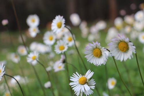 Free stock photo of flowers daisy wood forest