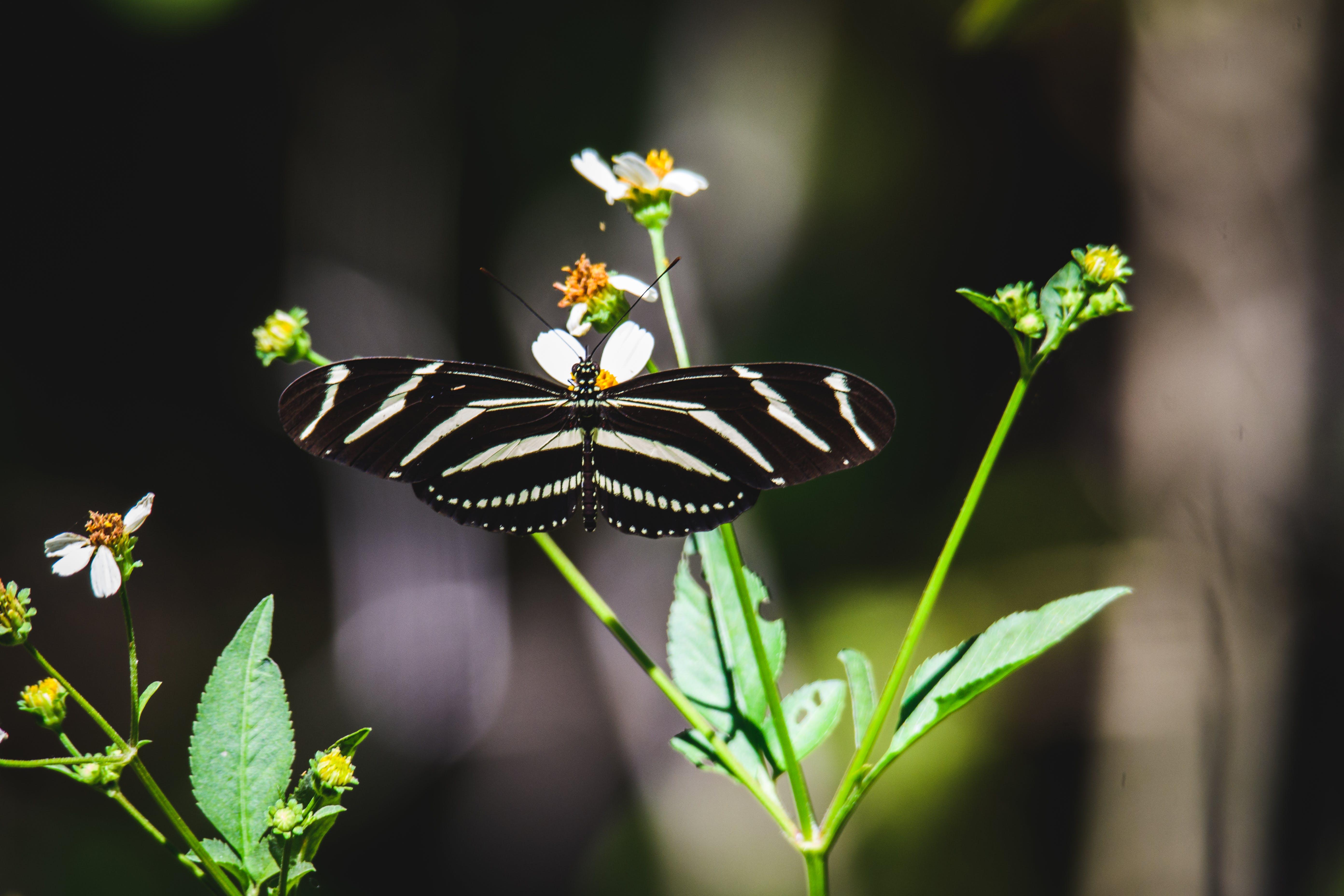 Zebra Longwing Butterfly on Green Leaf Plant