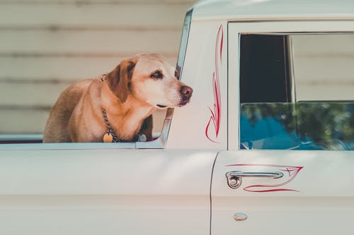Adult Yellow Labrador Retriever at the Back of Pickup Truck