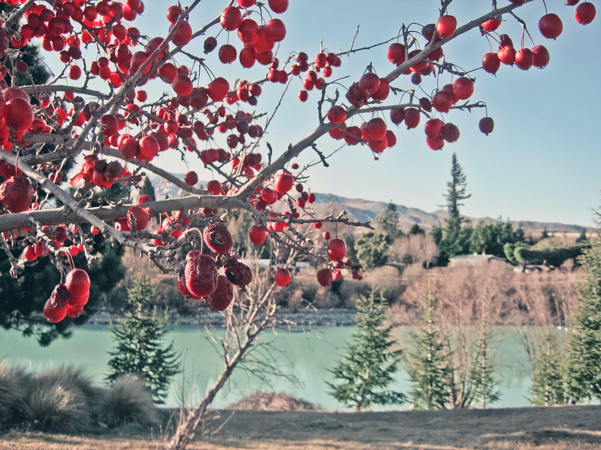 Základová fotografie zdarma na téma barvy, bobule, červené ovoce, denní světlo