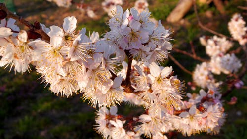 Close-up Photography of Cherry Blossoms