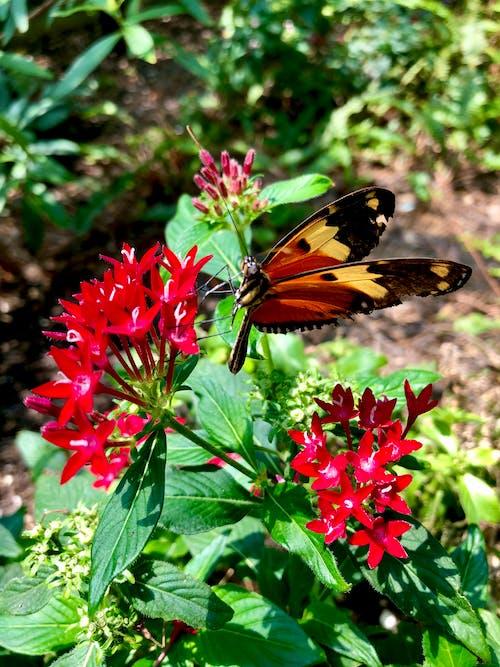 橙色和空白蝴蝶, 橙色的蝴蝶, 紅色的花朵 的 免費圖庫相片