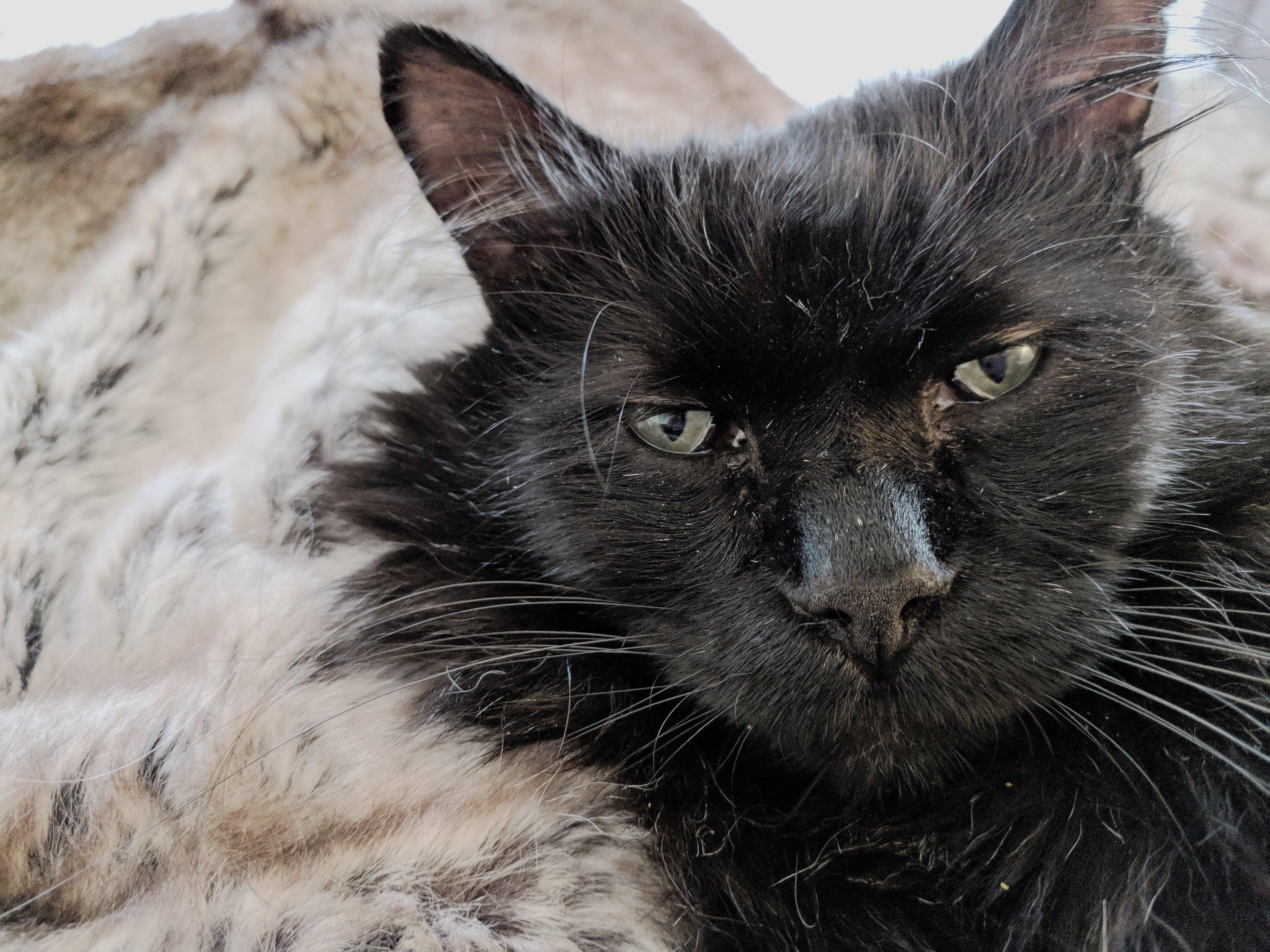 Free stock photo of animal, black cat, cat, cat face
