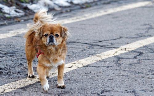 Adult Tan Tibetan Spaniel Standing on Road