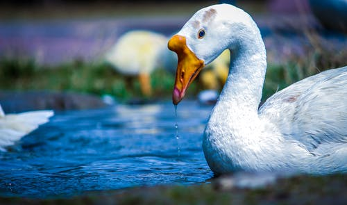 White and Yellow Duck on Body of Water
