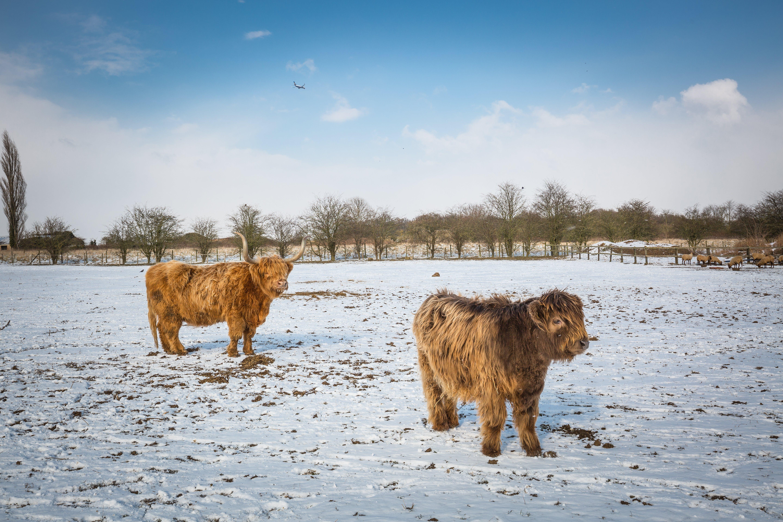 Two Beige Yaks on Snow Terrain