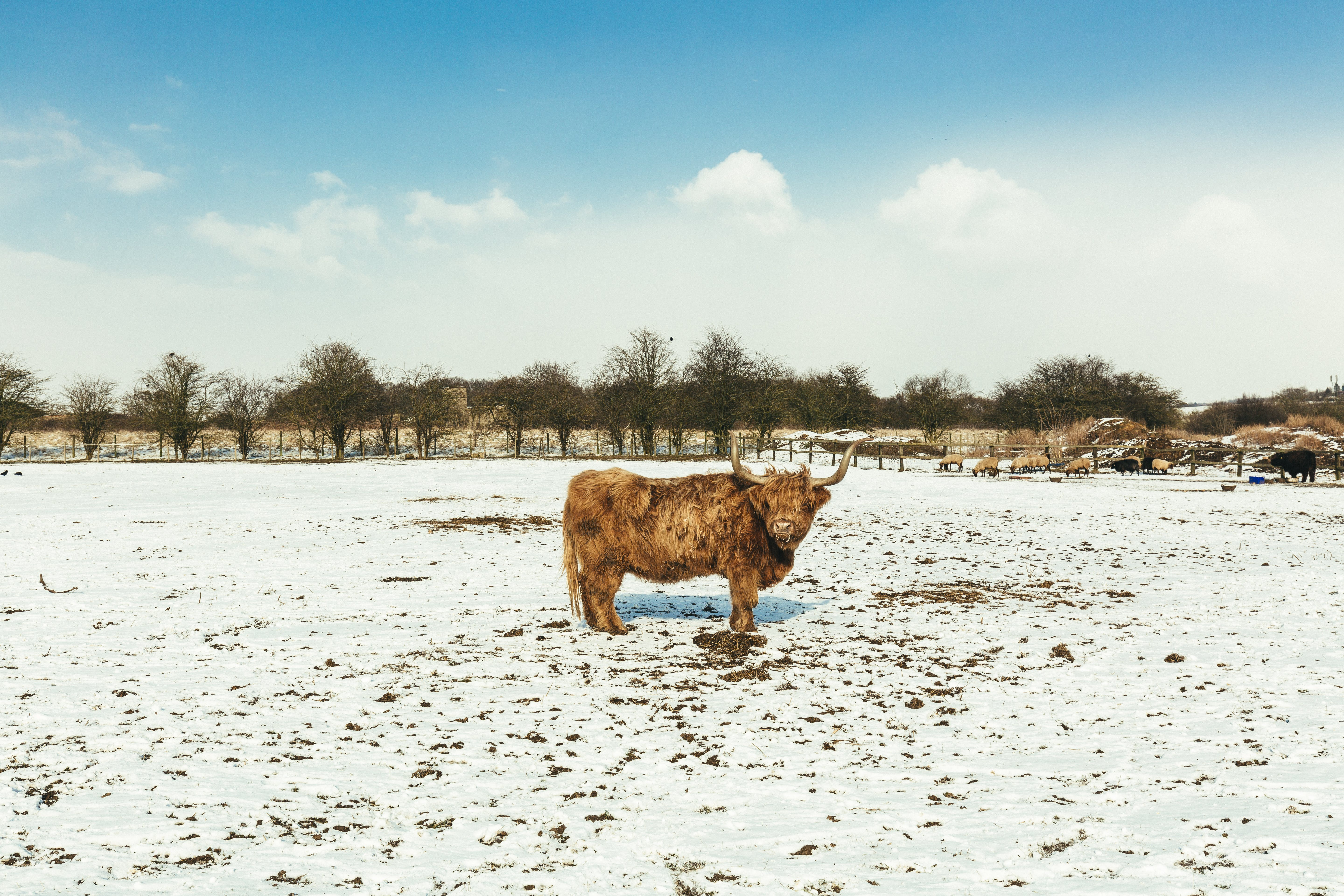 Brown Cattle on White Snow