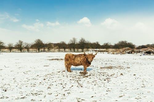 Ảnh lưu trữ miễn phí về ban ngày, bò, cánh đồng, cây