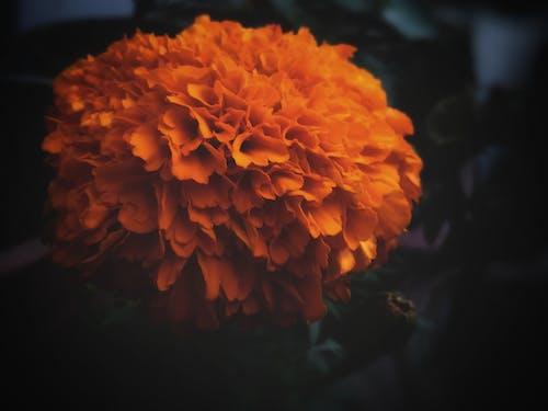 คลังภาพถ่ายฟรี ของ HDR, ดอกดาวเรือง, ดอกไม้สวย, พื้นหลังสีดำ