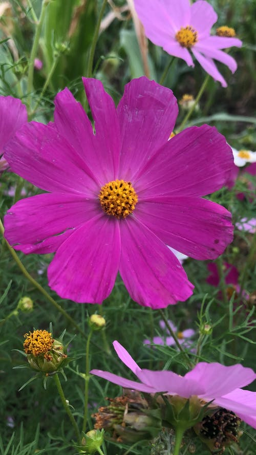 Photo of a Blooming Garden Cosmos Flower