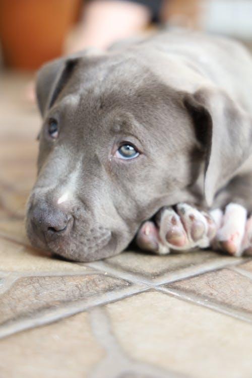 Free stock photo of american bulldog, american pit bull terrier, animal lover