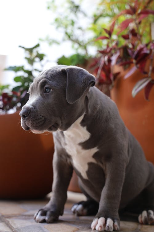 Grey and White American Pitbull Terrier Puppy