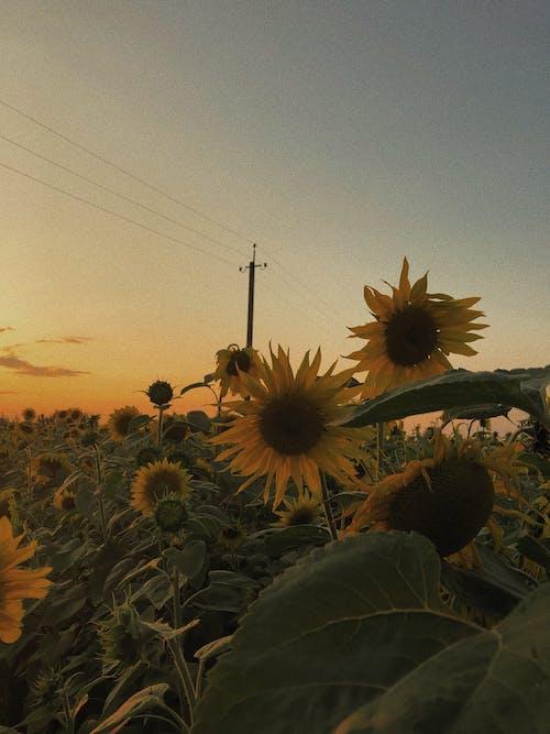 Immagine gratuita di campo, campo di girasoli, fiore