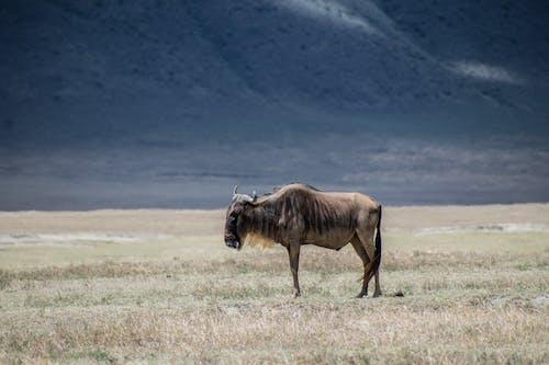 Základová fotografie zdarma na téma býk, chlupatý, denní světlo