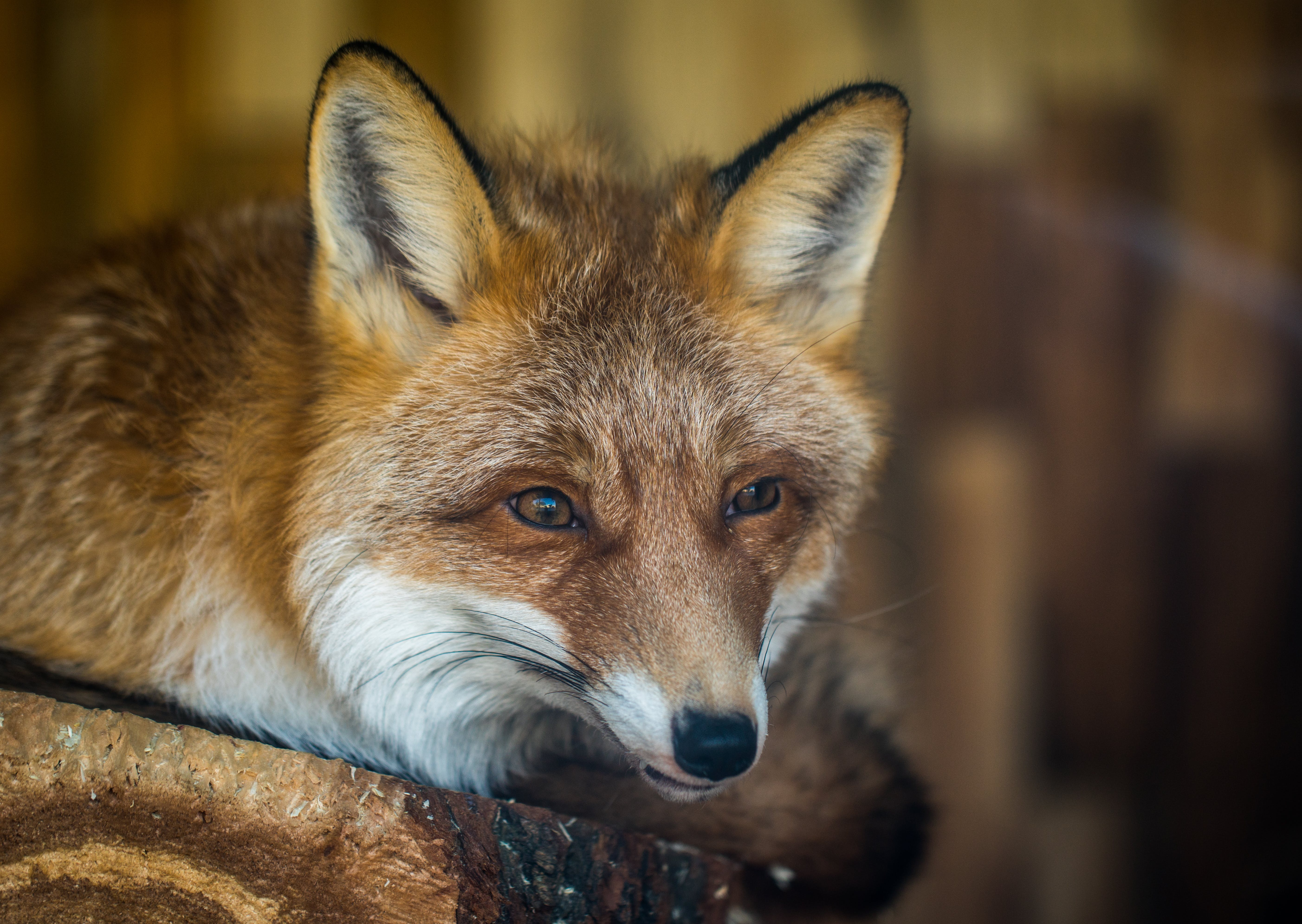 Fox on Brown Wooden Plank