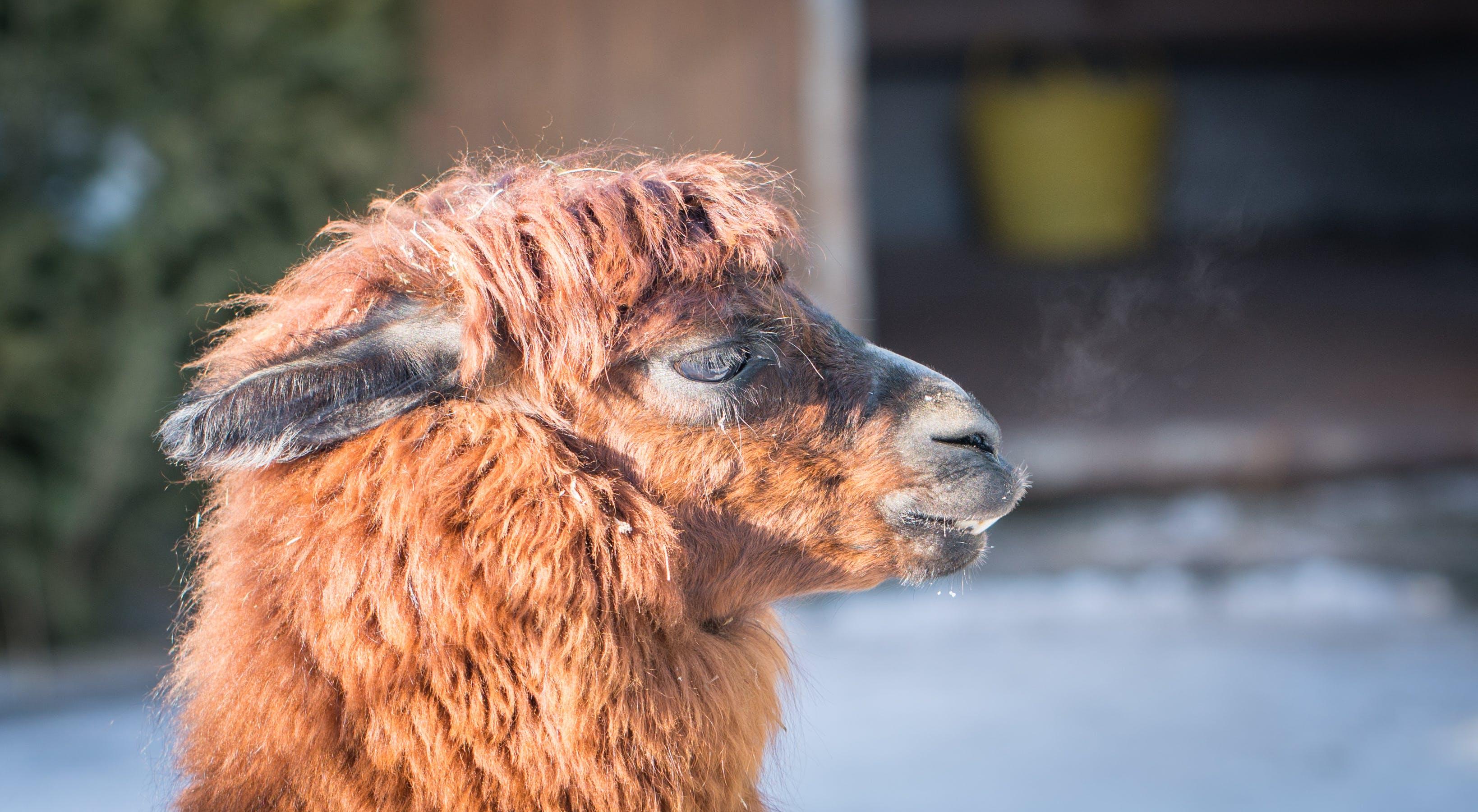 Macro Photography of Llamas Head