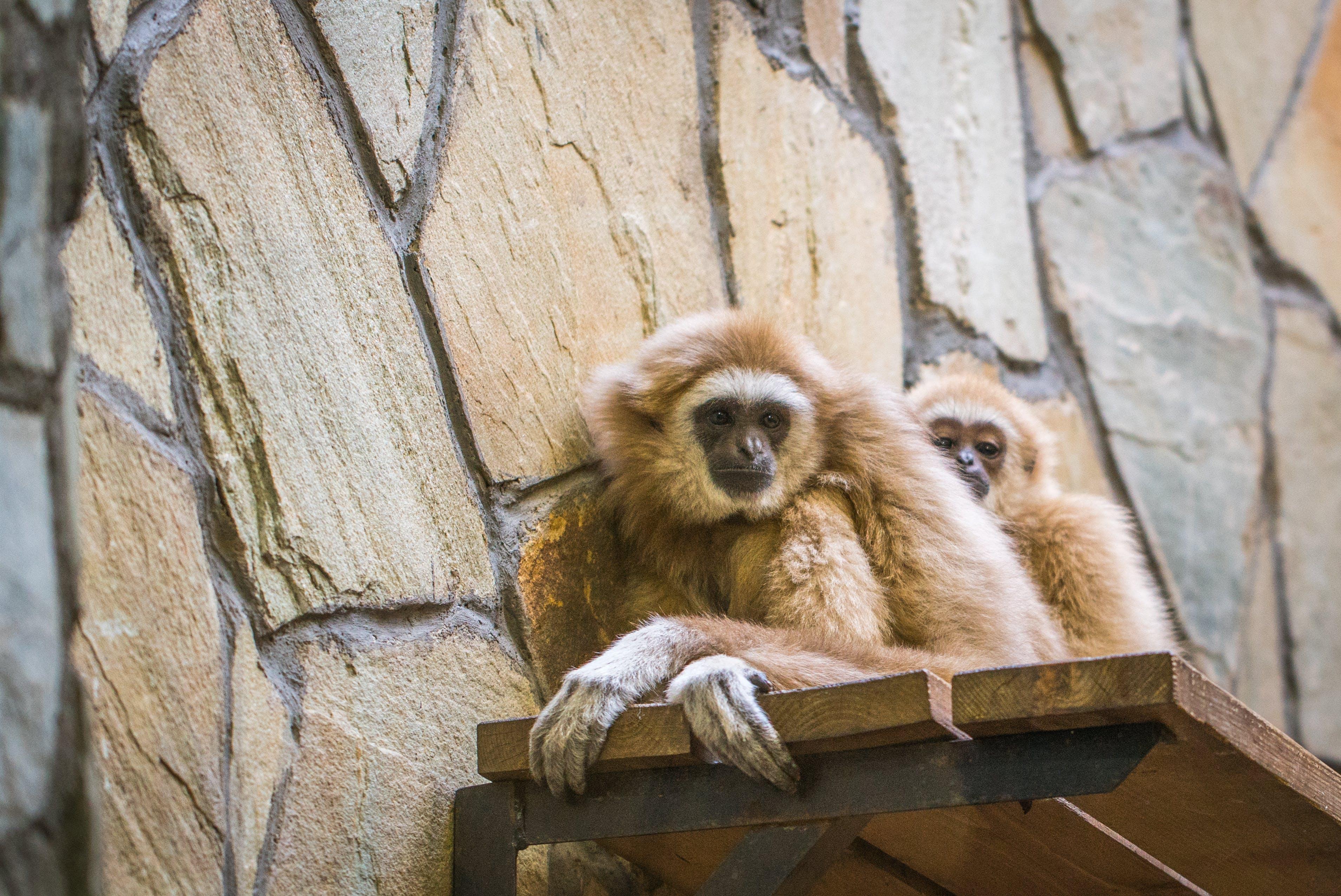 Gratis lagerfoto af aber, dyrefotografering, dyreliv, nuttet