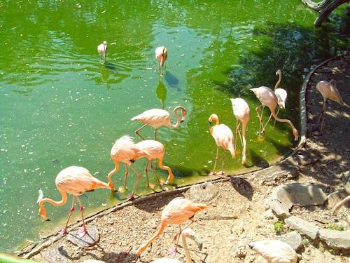 Ingyenes stockfotó állatkert, flamingók, havanna, Kuba témában