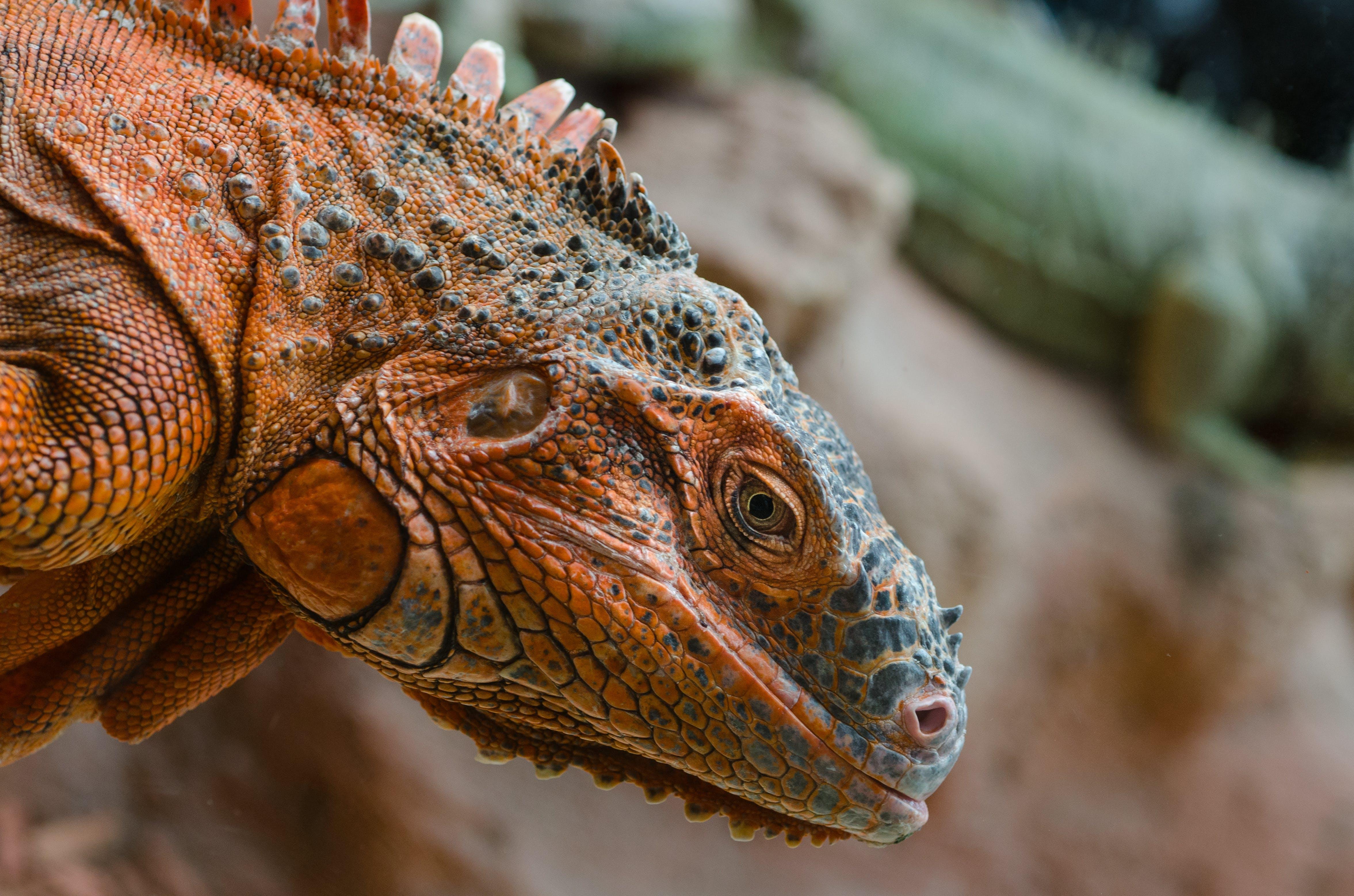 animal, iguana, lizard