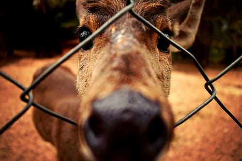 Darmowe zdjęcie z galerii z bliski, jeleń, oblepiony, oczy