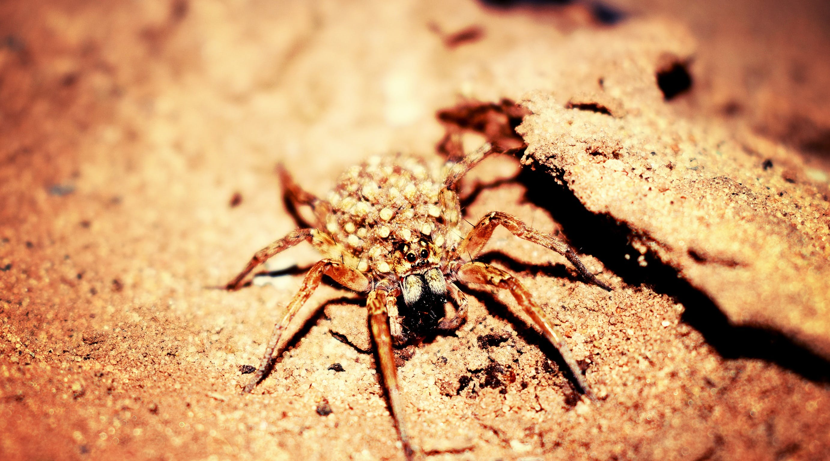 Female Wolf Spider in Closeup Photography