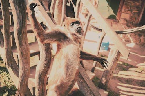 Безкоштовне стокове фото на тему «ідеальний час, джунглі, крутий, Мавпа»