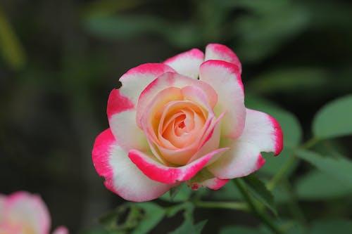Foto stok gratis mawar