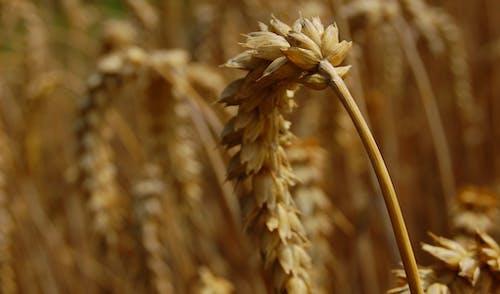 Fotobanka sbezplatnými fotkami na tému poľnohospodárstvo, pšenica, rastlina, stonka