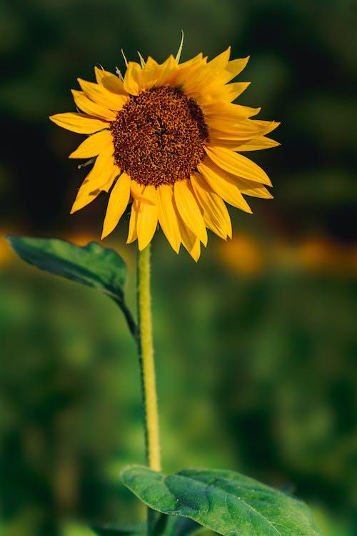 Close-Up Shot of Yellow Sunflower