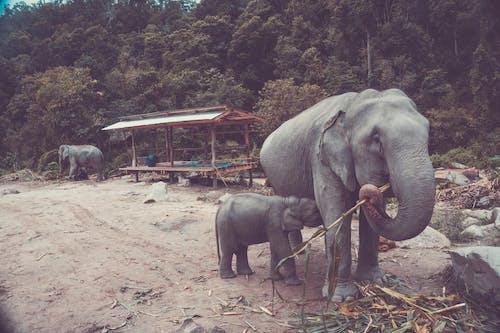 Foto stok gratis bayi gajah, chiang mai, gajah, gajah truni