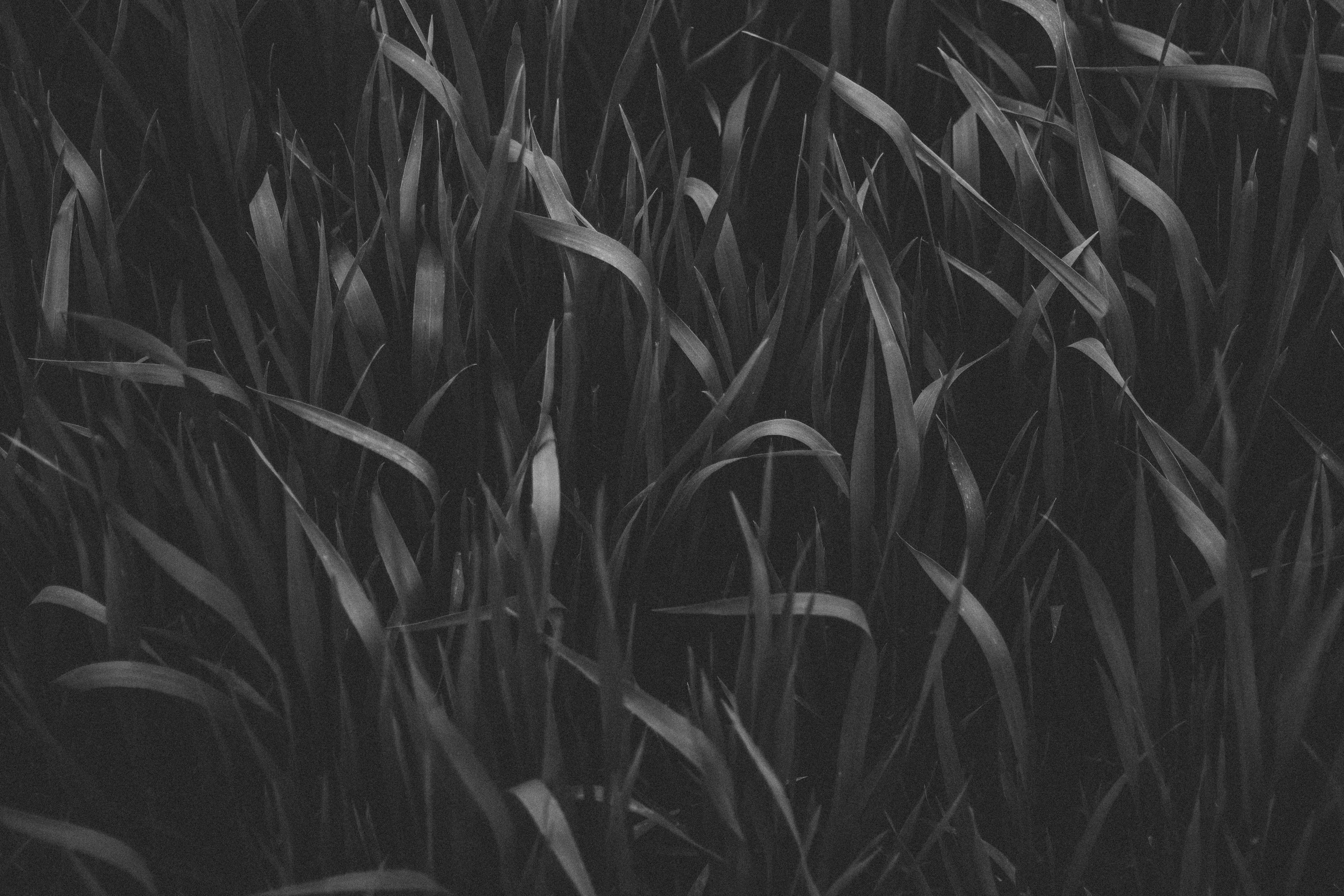 Grayscale Photography of Grass