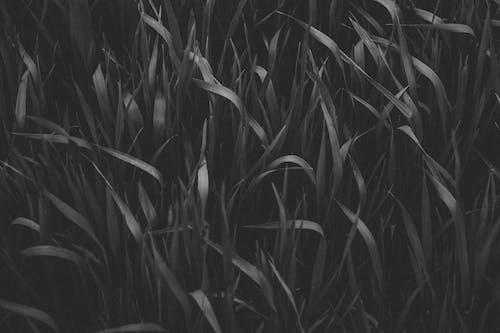 Foto d'estoc gratuïta de blanc i negre, camp, camps de cultiu, collita