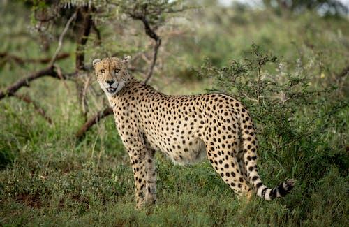 Immagine gratuita di animale selvatico, campo, carnivoro