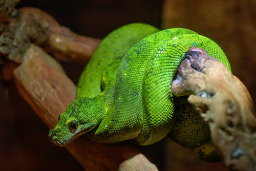 Emerald Tree Boa Coiled Up on Bough