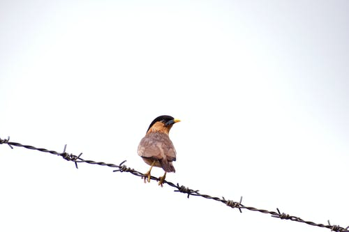 Close-Up Shot of a Passerine Bird Perched on a Barbed Wire Fence