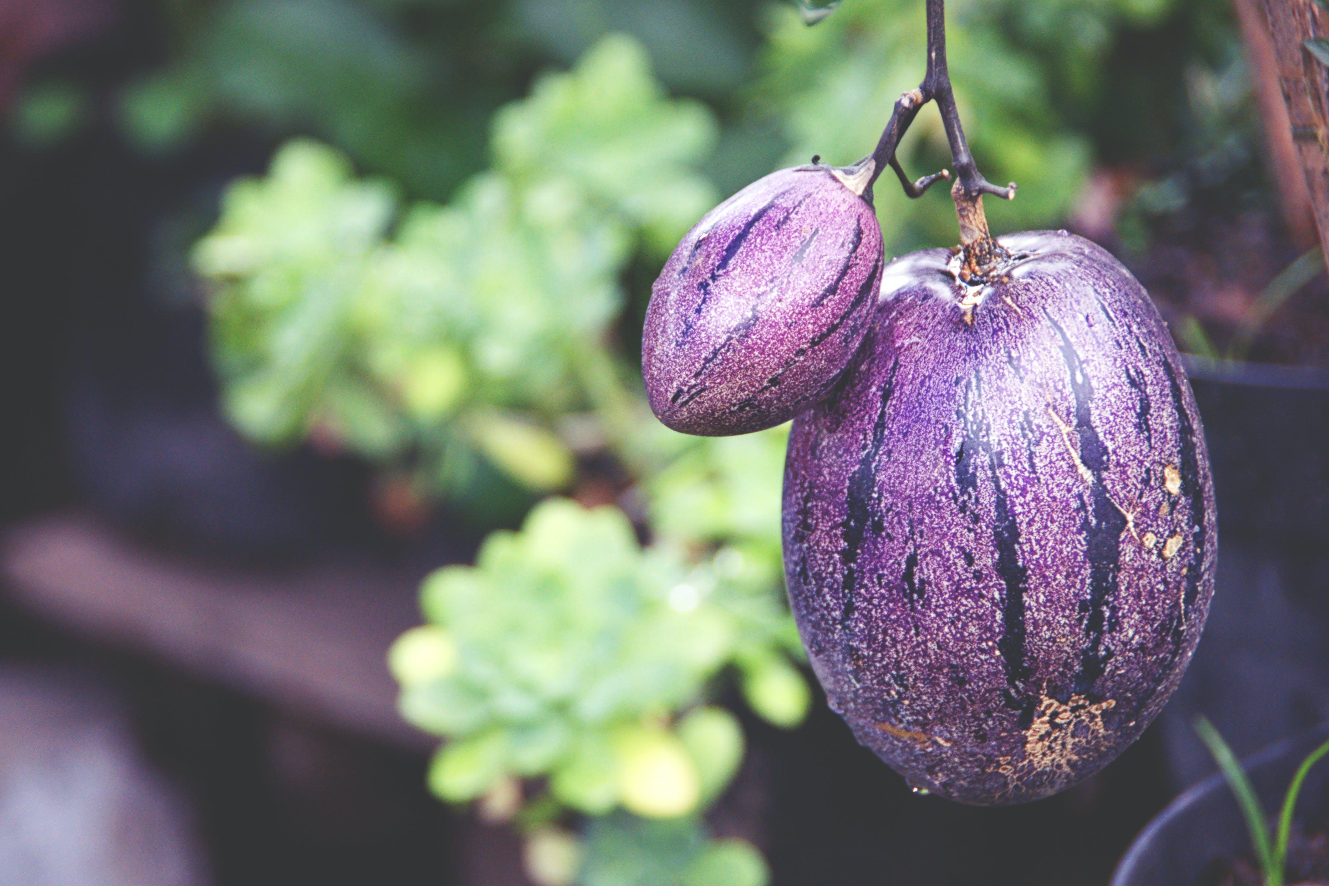 Free stock photo of fruits, indonesia, medan, pepino