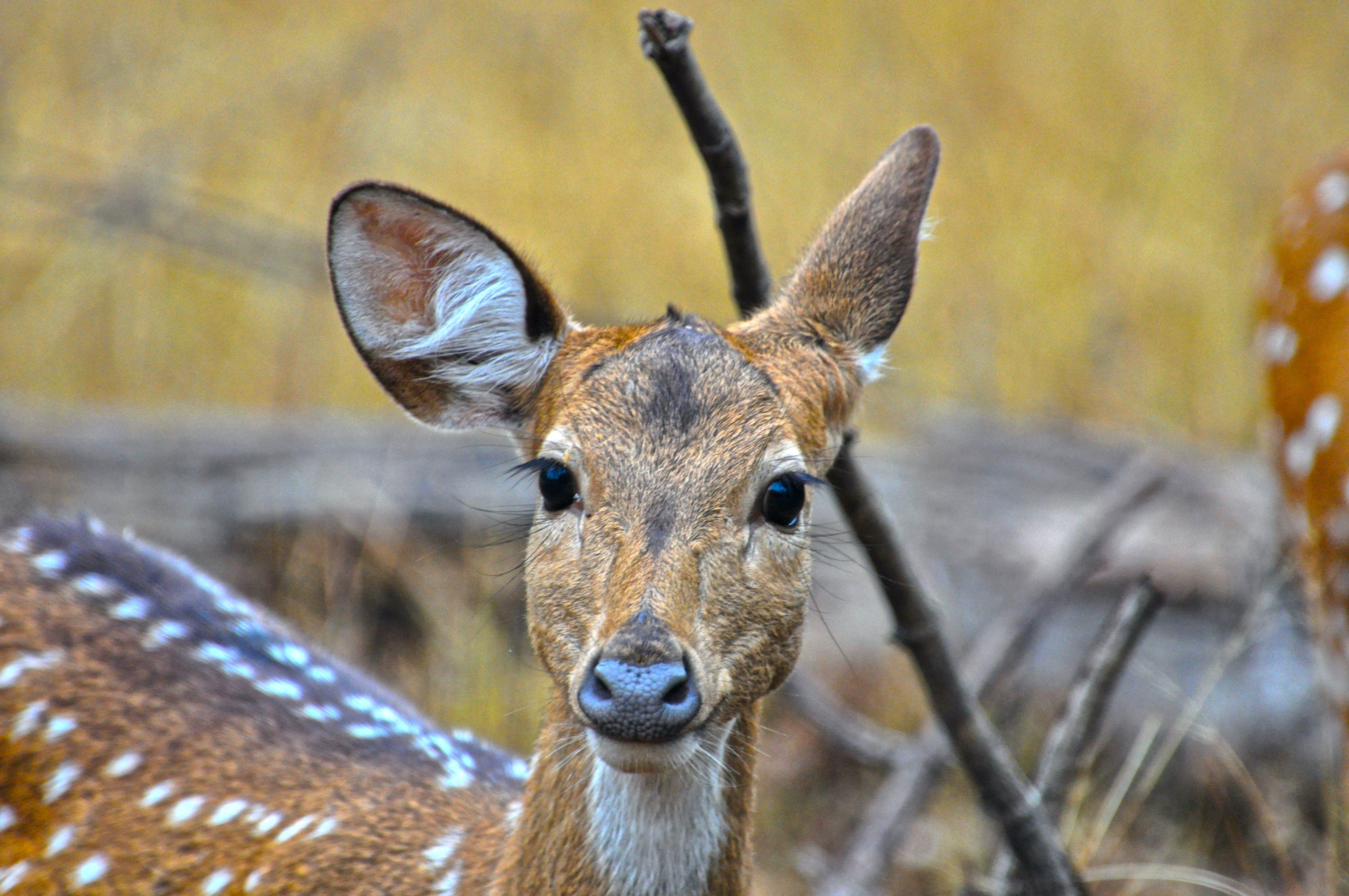 Kostenloses Stock Foto zu shifting ears of deer