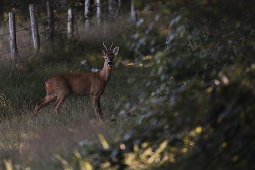 Free stock photo of deer, roe deer