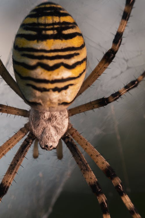 Yellow and White Striped Spider on Web