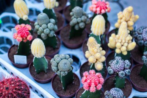 サボテン, 植物, 鉢植え, 開花植物の無料の写真素材