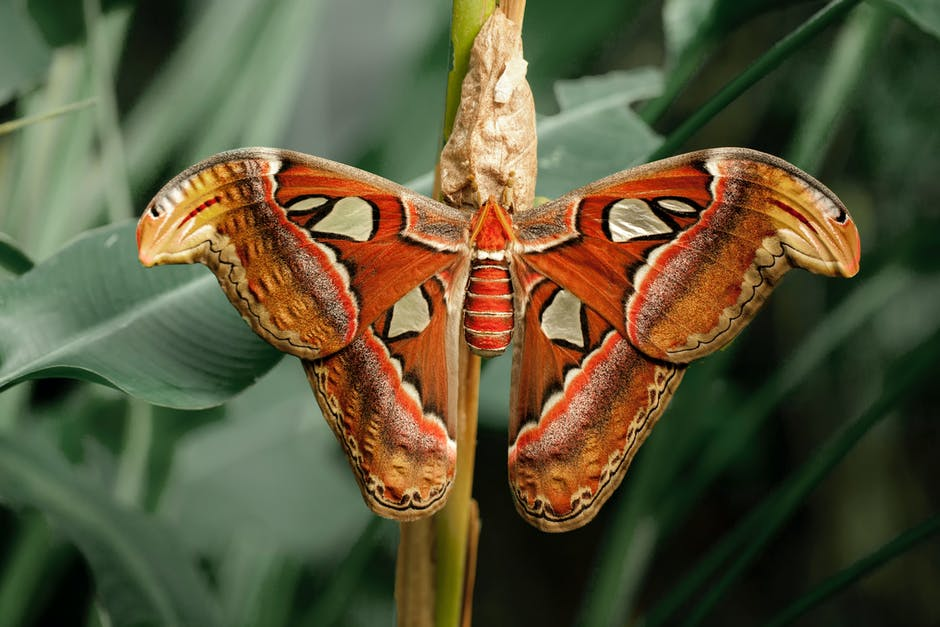 Close up photography of atlas moth