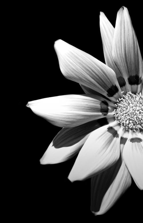 Free stock photo of beautiful flower, black and white, close up focus