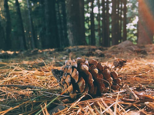 Gratis lagerfoto af kegle, klump, skov, skovdæksel