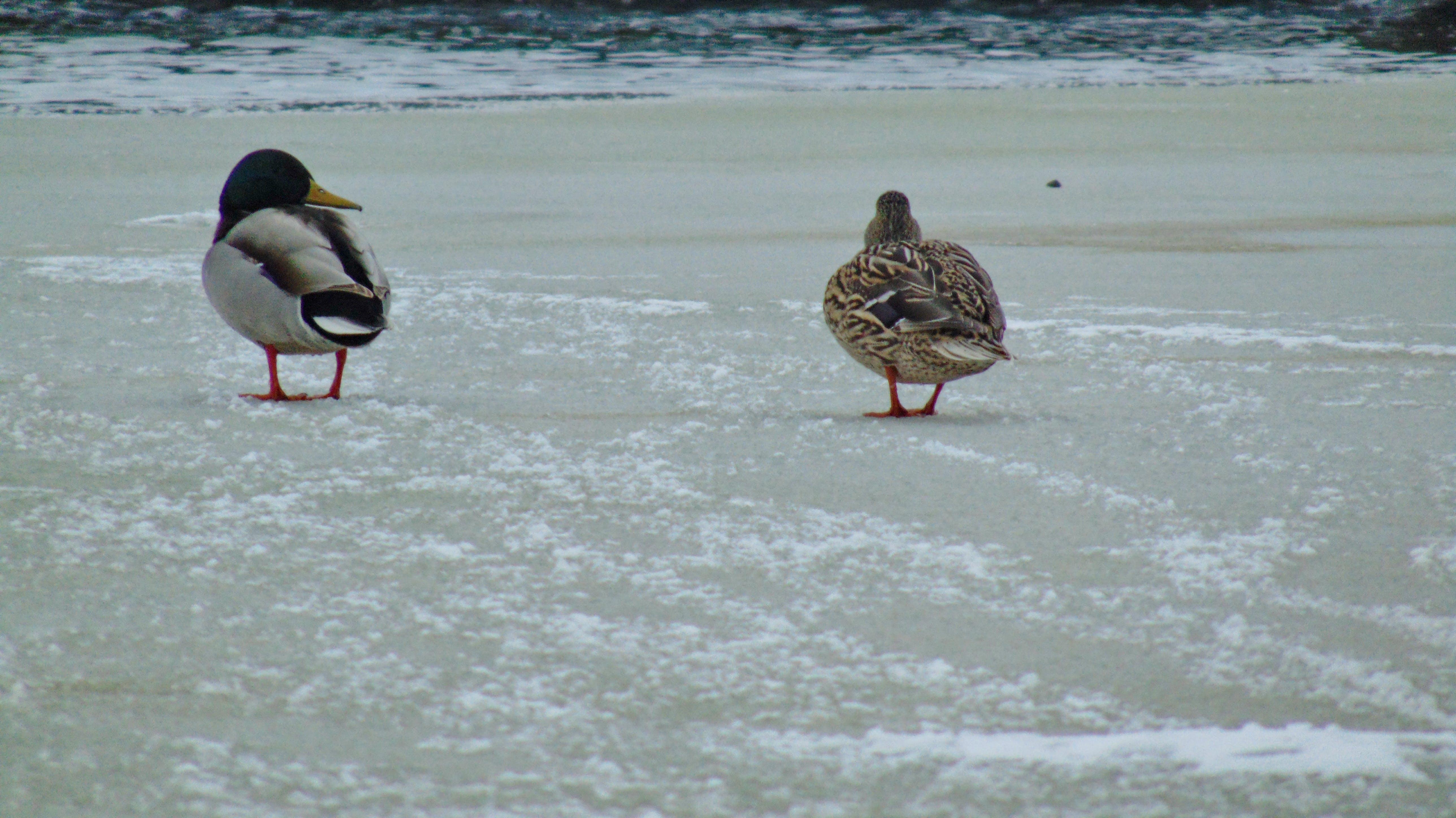 Free stock photo of duck, frozen lake, ice, lake