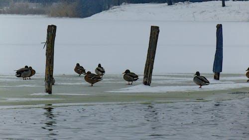 Gratis arkivbilde med ender, frossen innsjø, is, vinter