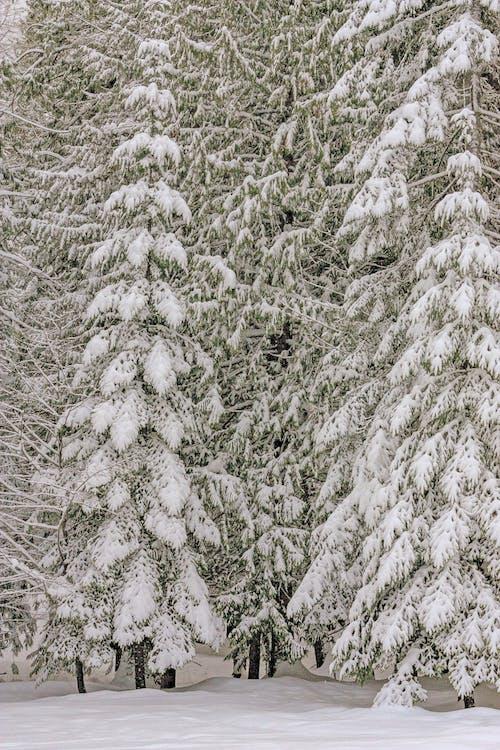 Photos gratuites de arbres, neige