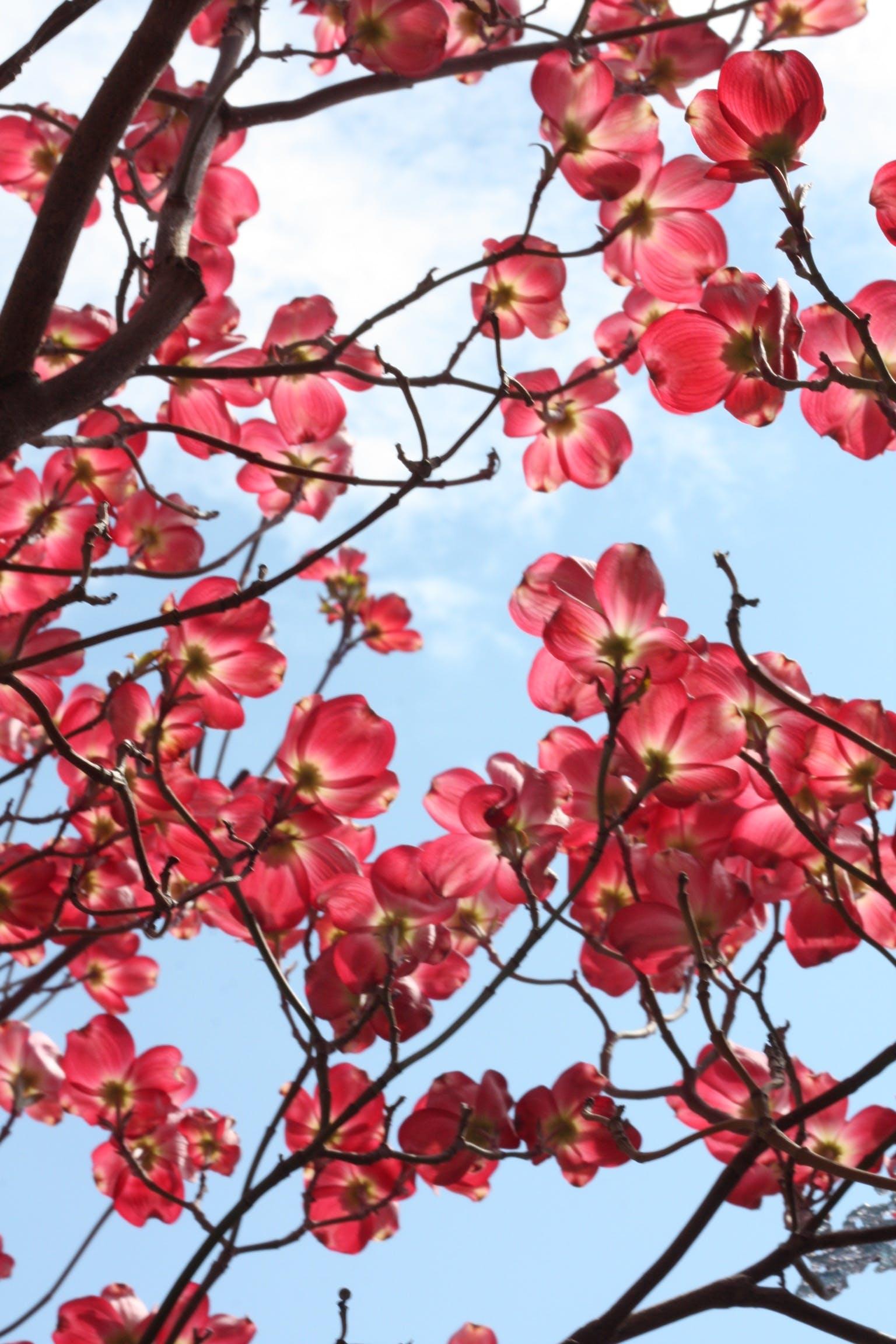 Sakura Tree at Daytime